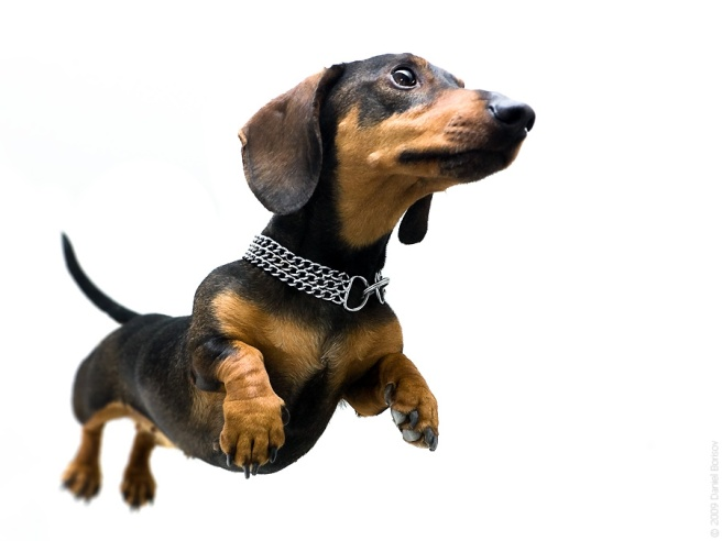 So who knew these weiner dogs could fly?  More important, who cared, right? (Image from pets for sale dot co dot za