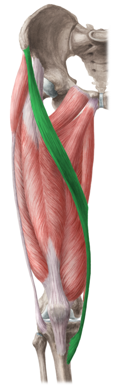 The sartorius is the green one, and this is a right leg.  If the sartorius on your left leg runs in this direction, or if you have an erection lasting more than four hours, see your healthcare professional right away.  (Image from kenhub dot com)