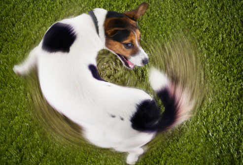 True to form, the tail chasing is in a clockwise direction.  (Image from candiebeever dot wordpess dot com)